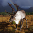 Reindeer in the Cairngorms National Park.